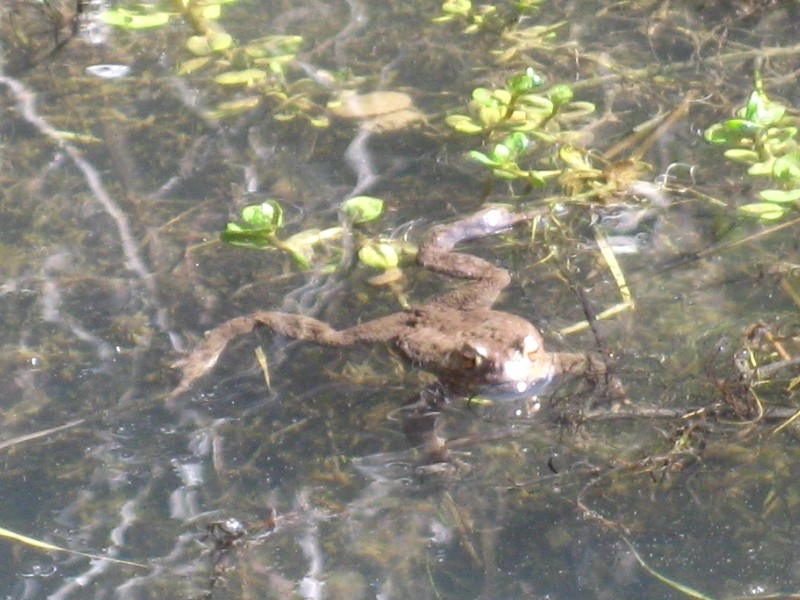 There were hundreds of toads in the ponds at The Ings